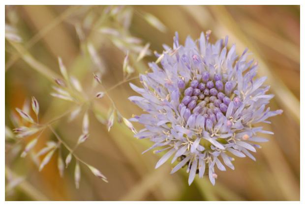 foto's, Zandblauwtje (Jasione montana)