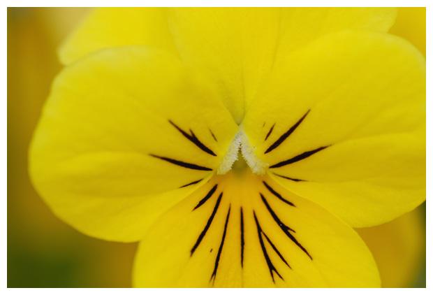 foto's, Viooltje (Viola), tuinplant