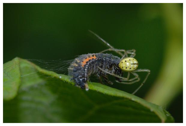 foto's, Gewone Tandkaak (Enoplognatha ovata), spin