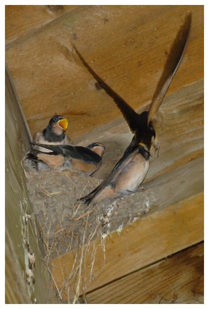 fotos, Boerenzwaluw (Hirundo rustica), zwaluw