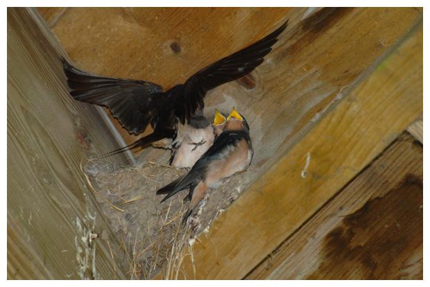 foto´s, Boerenzwaluw (Hirundo rustica), zwaluw