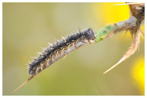 foto's, Distelvlinder (Vanessa cardui), vlinder