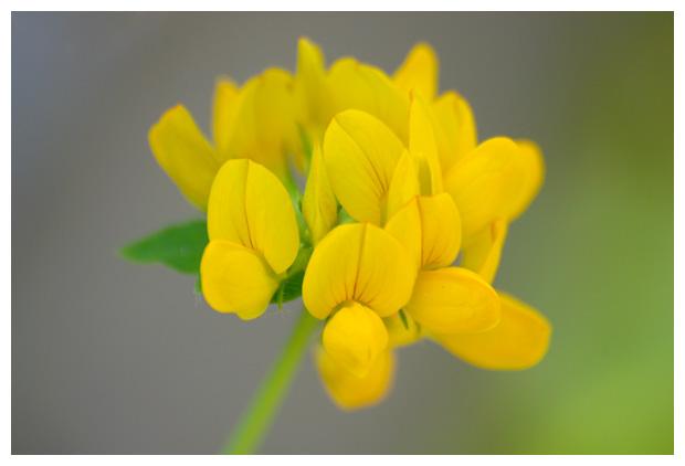 foto's, Gewone rolklaver (Lotus corniculatus var. corniculatus), klaver