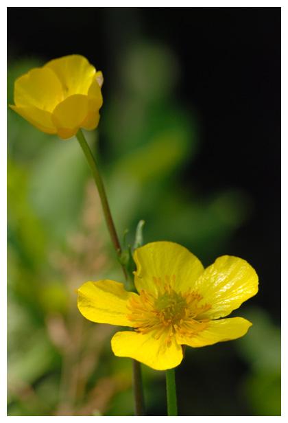foto's, Grote boterbloem (Ranunculus lingua), waterplant