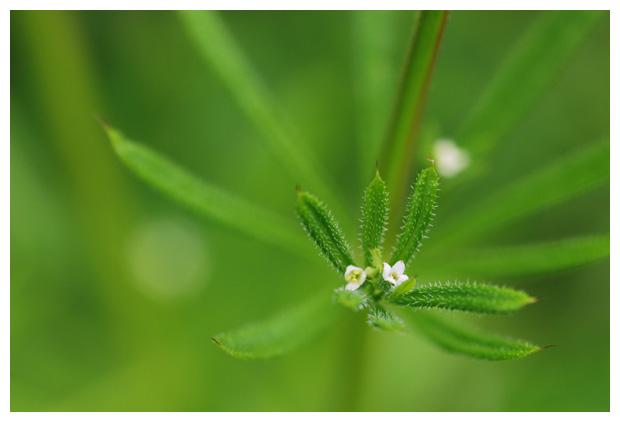 foto's, Kleefkruid (Galium aparine), plant