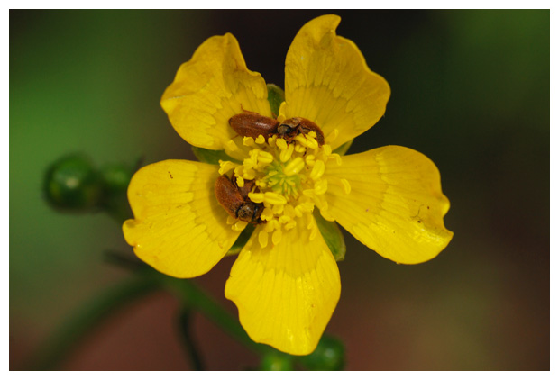 foto's, diverse verschillende soorten Frambozenkevers (Byturidae), kever