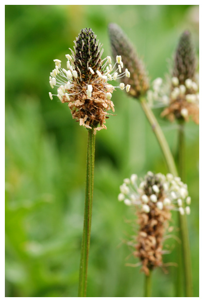 foto's, Smalle weegbree (Plantago lanceolata), plant
