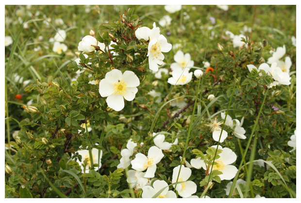 foto's, Duinroos (Rosa pimpinellifolia syn. rosa spinosissima), duinroosje
