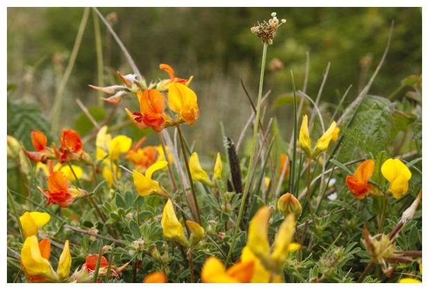 foto's, Gewone rolklaver (Lotus corniculatus var. corniculatus)
