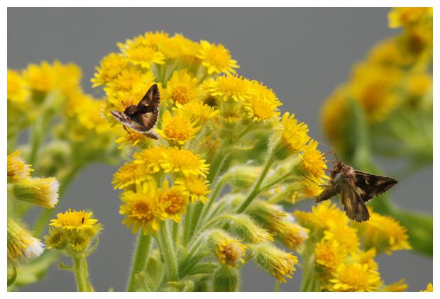 foto's, Moerasandijvie (Tephroseris palustris, Senecio congestus), plant