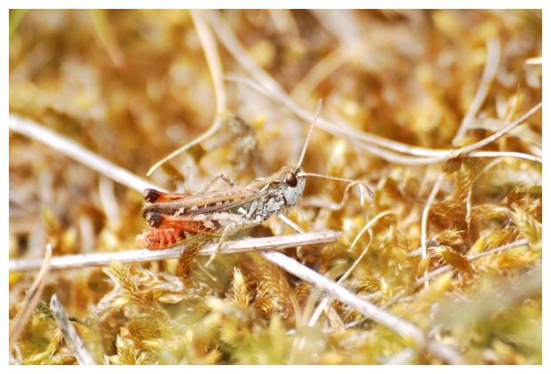 foto's, Knopsprietje (Myrmeleotettix maculatus), sprinkhaan