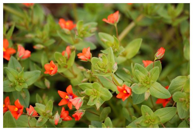 foto´s, Rood guichelheil (Anagallis arvensis)