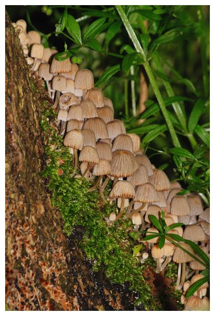 foto´s, Zwerminktzwam (Coprinellus disseminatus), witte paddenstoel