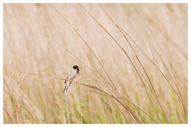 foto's, Rietgors (Emberiza schoeniclus), vogel