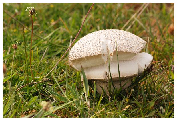 foto´s, Ruitjesbovist (Calvatia utriformis), paddenstoel