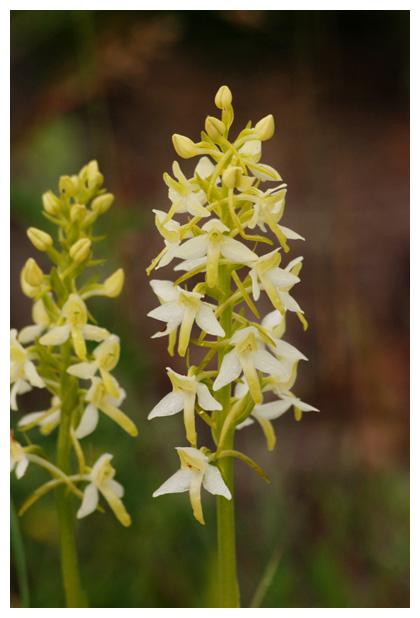 foto's, Welriekende nachtorchis (Platanthera bifolia), orchis