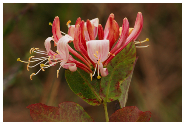 foto's, Wilde kamperfoelie (Lonicera periclymenum), plant