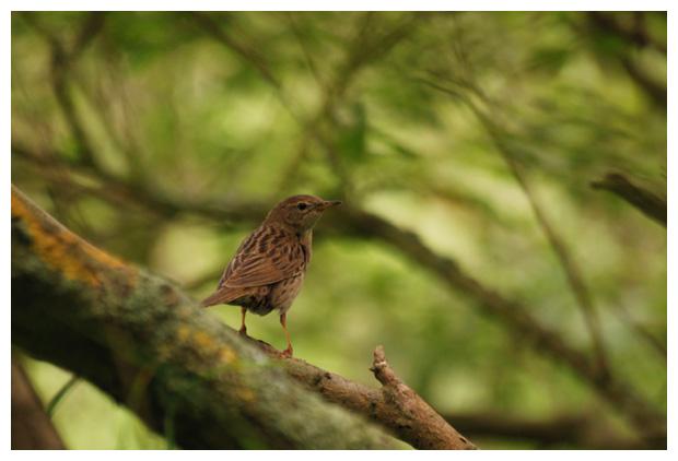 foto´s, Boompieper (Anthus trivialis), vogel