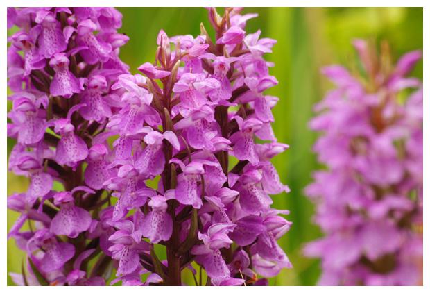 foto´s, Rietorchis (Dactylorhiza majalis), orchidee