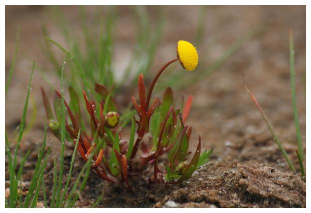foto´s, Goudknopje (Cotula coronopifolia)