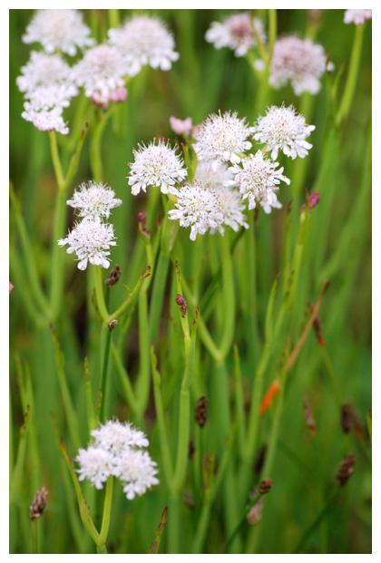 foto´s, Pijptorkruid (Oenanthe fistulosa), plant