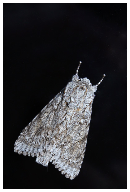 foto´s, Bont schaapje (Acronicta aceris), nachtvlinder