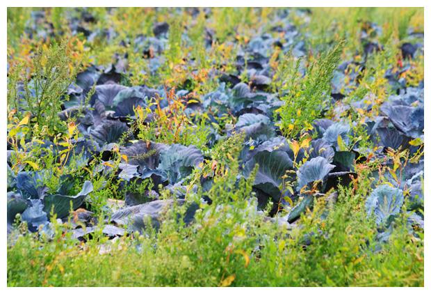 foto´s Rodekool (Brassica oleracea)