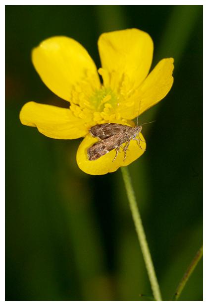 foto's, Brandnetelmotje (Anthophila fabriciana), vlinder