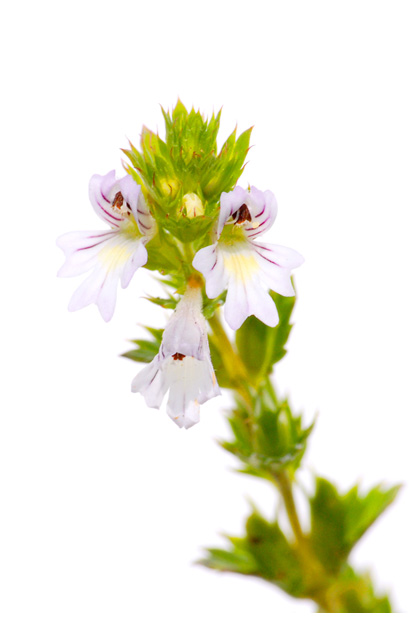 foto's, Stijve ogentroost (Euphrasia stricta, officinalis)