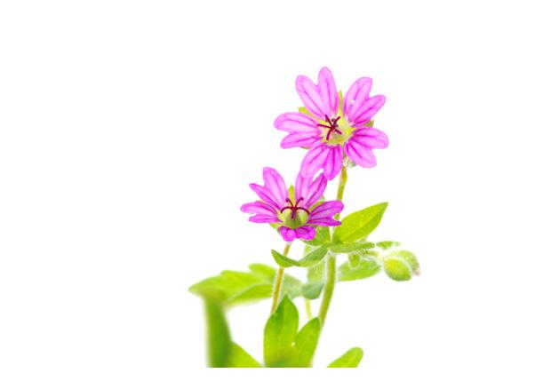 foto´s, Zachte ooievaarsbek (Geranium molle)