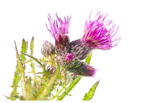foto's, Kale jonker (Cirsium palustre), distel