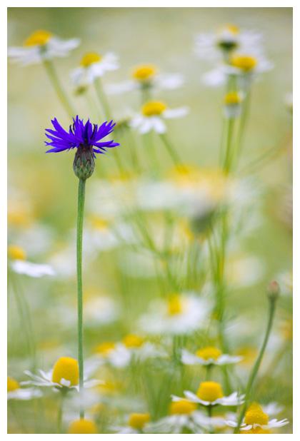 foto's, Korenbloem (Centaurea cyanus), plant