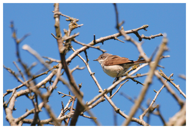 foto's, Grasmus (Sylvia communis), vogel