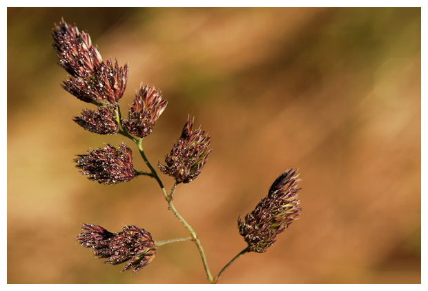 foto's, Kropaar (Dactylis glomerata), gras