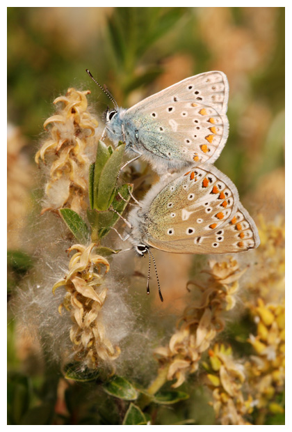 foto's, Kruipwilg (Salix repens, rosmarinifolia en arenaria), wilg