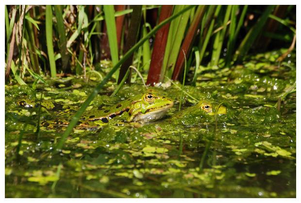 foto's, Groene kikker (Rana ridibunda)