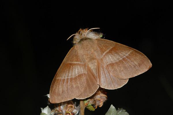foto's, Veelvraat (Macrothylacia rubi), nachtvlinder