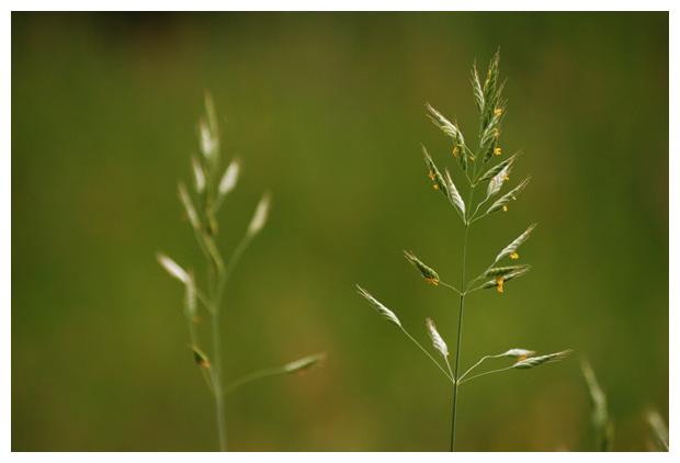 foto's, Zachte dravik (Bromus hordeaceus, synoniem Bromus mollis), gras