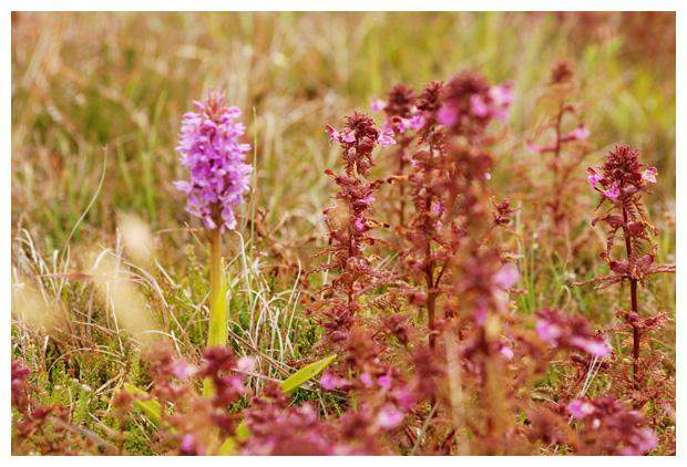 foto's, Moeraskartelblad (Pedicularis palustris), plant