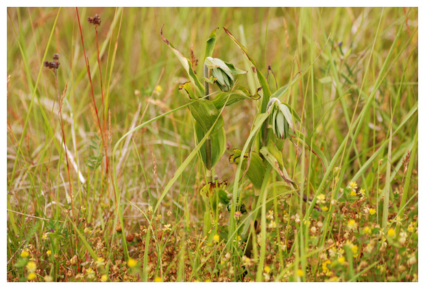 foto´s, Brede wespenorchis (Epipactis helleborine), orchidee