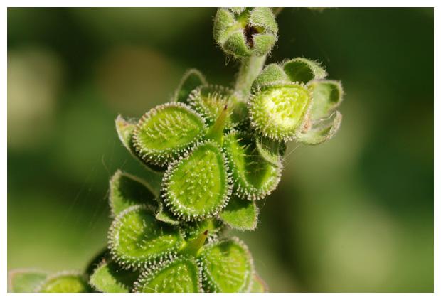foto's, Veldhondstong (Cynoglossum officinale), hondstong