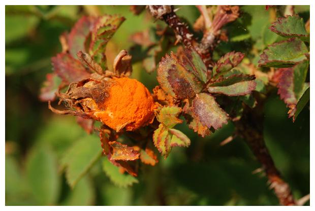 foto's, Duinroosroest of gladde roosroest (Phragmidium rosae-pimpinellifoliae), roest duinroosje