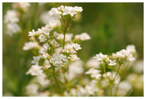 foto's, Moeraswalstro (Galium palustre, elongatum), plant
