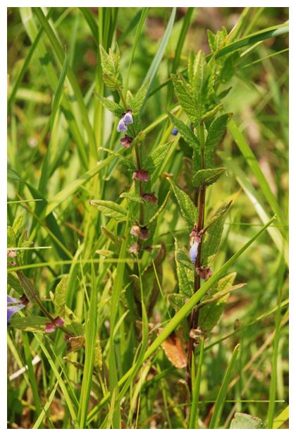 foto's, Blauw glidkruid (Scutellaria galericulata), plant