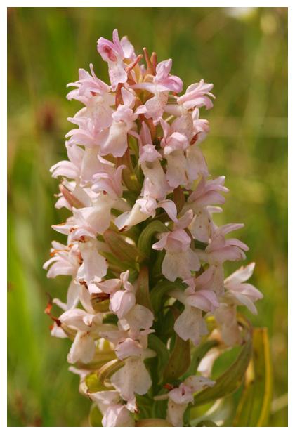 foto's, Vleeskleurige orchis (Dactylorhiza incarnata), orchidee