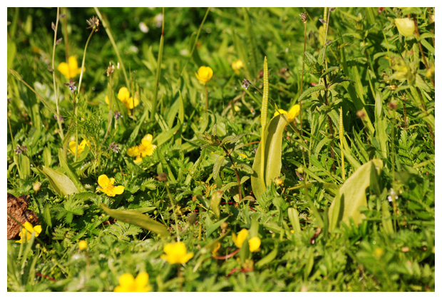foto's, Addertong (Ophioglossum vulgatum), varen