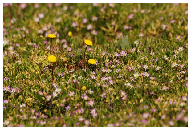 foto´s, Gerande schijnspurrie (Spergularia media), plant kust