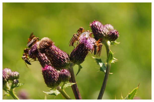 foto's, Akkerdistel (Cirsium arvense), distel