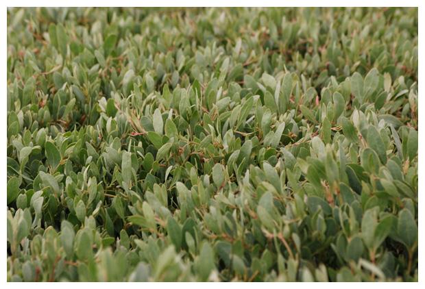 foto's, Gewone zoutmelde of Zeemelde (Atriplex portulacoides), kwelderplant