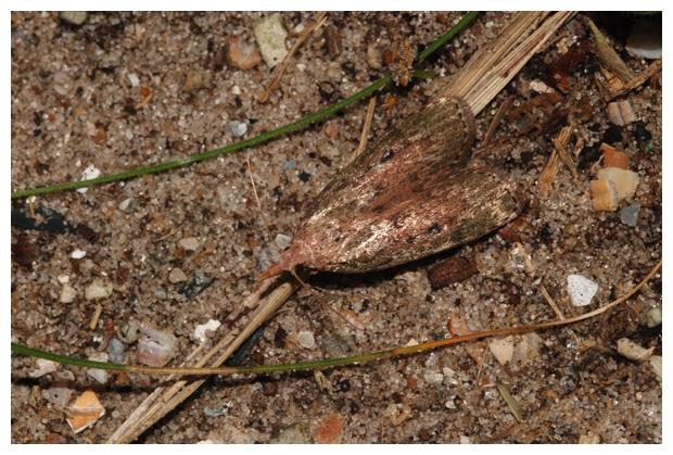foto's, Hommelnestmot of Koloniemot (Aphomia sociella), nachtvlinder